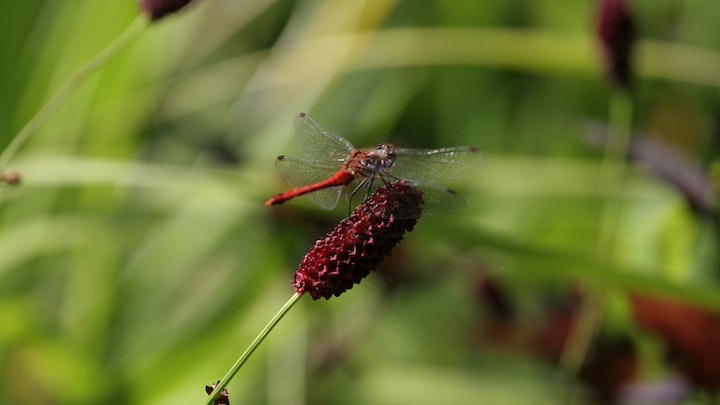 From dragonflies to flapping robots